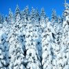 Fresh Packed Snow whitens Fir Trees