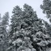Fresh Snow covered Trees show balance, dominance, and strenght of Nature